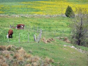 Regional Natural Park of the Ardèche Mountains - Cows in a blooming meadow