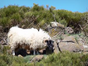 Regional Natural Park of the Ardèche Mountains - Ram with black head and white body