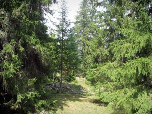 Regional Nature Park of Mercantour - Nature park: in the forest (trees)
