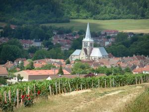 Les Riceys - Rosebushes (red roses) and vines of the vineyards, wood, church and houses of the village