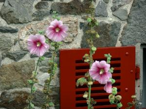 Saint-Suliac - Trémières rose (Alcea rosea flowers), red shutter and stone facade of a house
