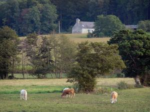 Saire valley - Cows in a meadow, trees and a farm, in the Cotentin peninsula