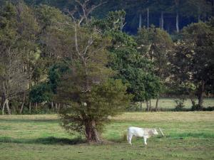 Saire valley - Cow in a meadow and trees, in the Cotentin peninsula