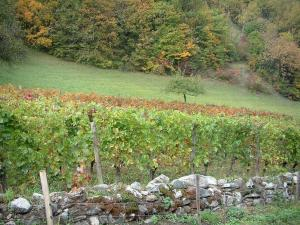 Savoie vineyards - Vineyards and trees in autumn