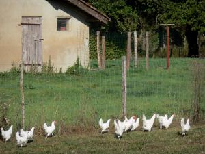 Savoyard Bresse - Bresse chicken in a meadow