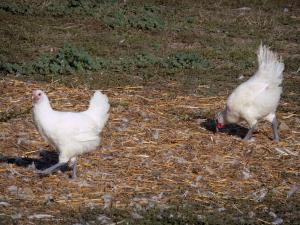 Savoyard Bresse - Bresse chicken with white feathers