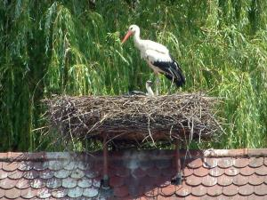 Storks - Stork and its baby in a nest
