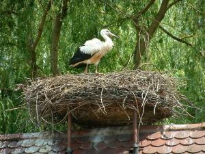 Storks - Young stork in a nest
