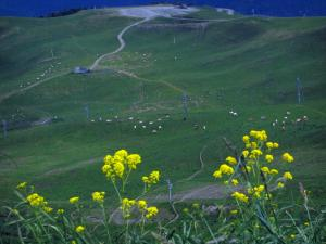 Superbagnères - Flora and wild flowers in foreground, ski lifts of the ski resort and cows in meadows, in the Pyrenees