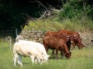 Swiss Normandy (Suisse Normande) - Cows in a meadow