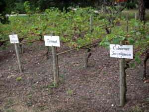 Tarbes - Massey garden (English landscape park): vines of the Madiran vineyard