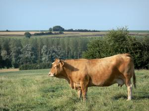 Thiérache - Cow in a meadow