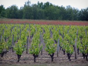 Touraine vineyards - Vineyards, field and trees