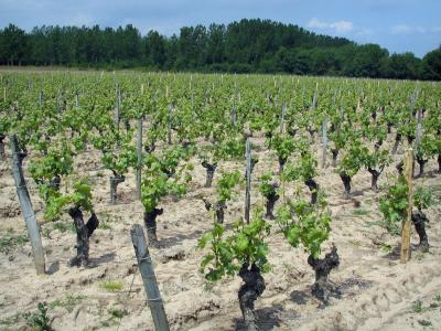 Touraine vineyards