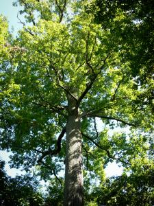 Tronçais forest - Colbert oak forest: Stebbing oak (remarkable tree)