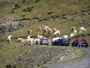 Troumouse cirque - On the road up to the cirque, cars waiting for a herd of cows to cross; in the Pyrenees National Park