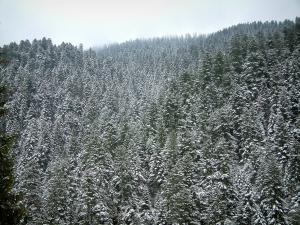 Turini Forest - Fir trees covered with snow