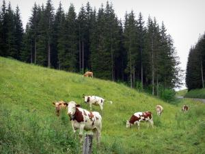 Upper Jura Regional Nature Park - Meadow (alpine pasture) with cows and spruces (trees)
