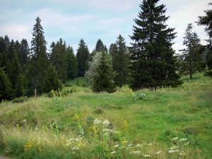 Upper Jura Regional Nature Park - Meadow (alpine pasture) with wild flowers and spruces (trees)