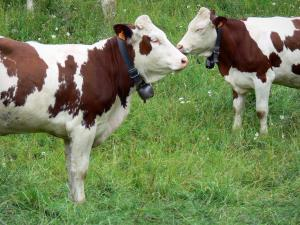 Upper Jura Regional Nature Park - Two Montbéliarde cows with their bells