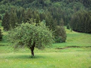 Upper Jura Regional Nature Park - Tree in a blooming prairie and forest of spruces