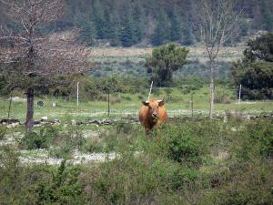 Upper Languedoc Regional Nature Park - Cow in a prairie, vegetation, trees