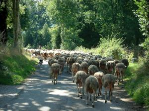 Upper Languedoc Regional Nature Park - Road lined with trees and a herd of sheeps