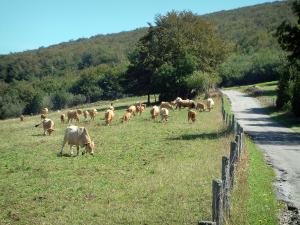 Upper Languedoc Regional Nature Park - Narrow road, fence, cows in a meadow, trees and a forest