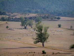 Verdon Regional Nature Park - Field with a sheep herd and trees, scrubland and forest