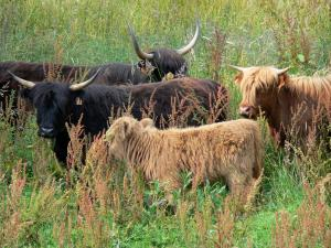 Vernier marsh - Highland Cattle cows in a meadow; in the Norman Seine River Meanders Regional Nature Park