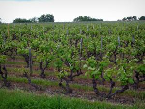 Vigneti di Touraine - Vines