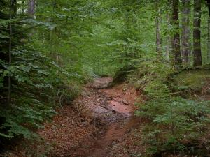 Vosges (Northern) - Road in the forest (Northern Vosges Regional Nature Park)