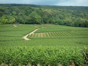 Wine Trail - Vineyards and forest in background