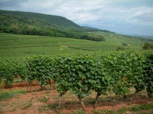 Wine Trail - Vineyards and small hills covered by forests