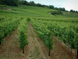 Wine Trail - Vineyards and trees in background