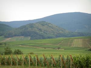 Wine Trail - Vineyards and hills covered with forests
