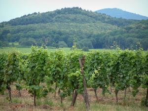 Wine Trail - Vines and hills covered with forests