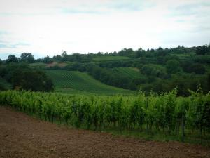 Wine Trail - Land, vines and trees