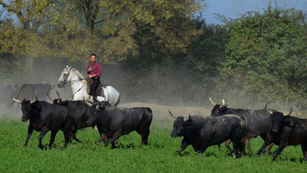 1ee1dcd2bccd Découverte d une manade de taureaux et chevaux en Camargue - Activité -  Vacances