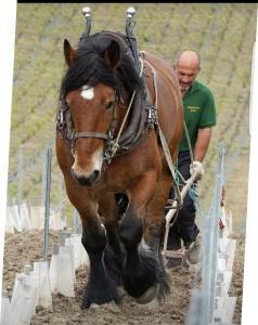 cheval de trait pierry