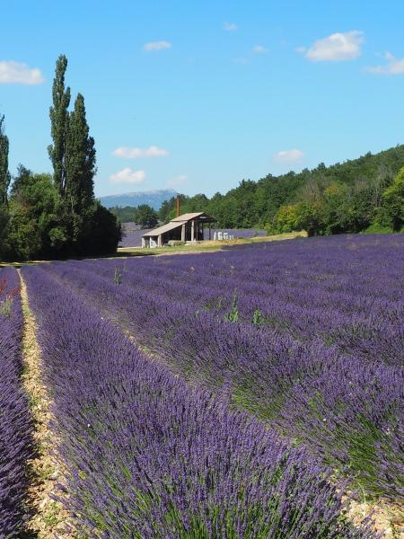Visit a lavender distillery - Activity - Holidays & weekends in Sault